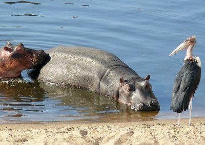 Hippos with Marabu Stork