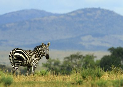 Zebra at Lake Manyara NP