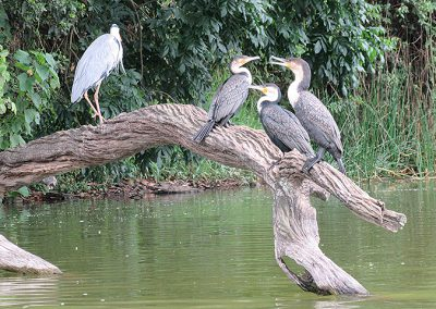 Grey Heron and Great Cormorants at Lake Duluti