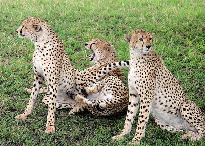 Cheetah family in Serengeti
