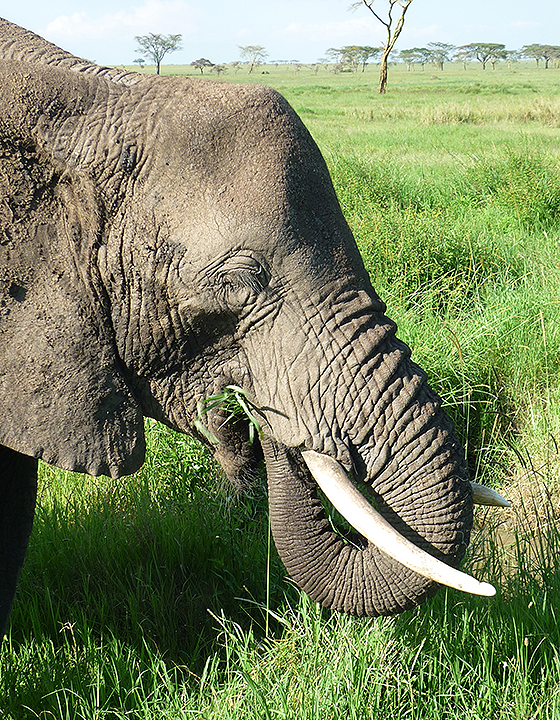 Elephant bull in Serengeti