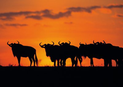 Sunset in Serengeti with wildebeest