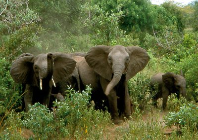 Elephants in Ruaha NP