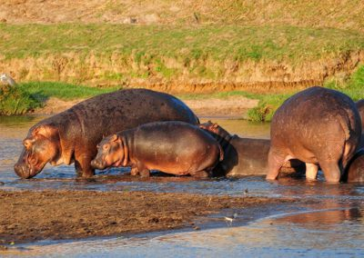 Happy hippo family at Ruaha River