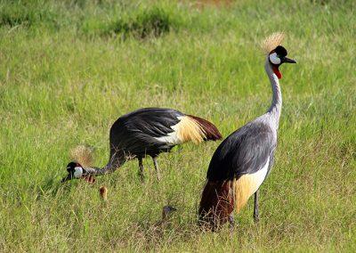 Crone Cranes