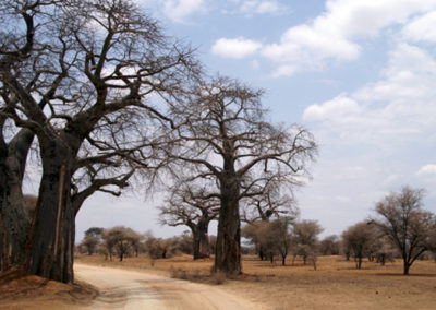 Baobab trees in Ruaha NP