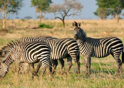 Zebras in Serengeti plains
