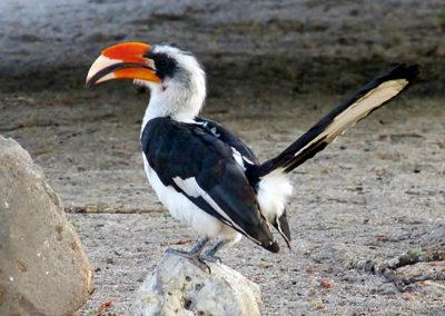 Van der Decken's Hornbill (female)