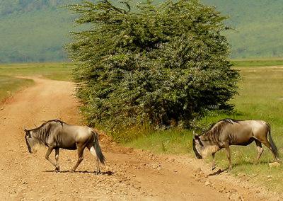 Wildebeests in the Ngorongoro Crater