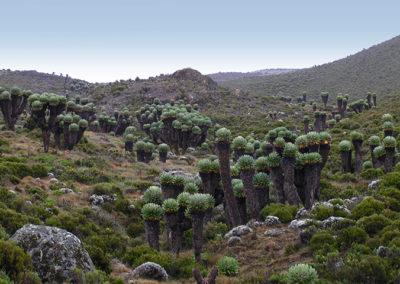 Senecio kilimanjaro