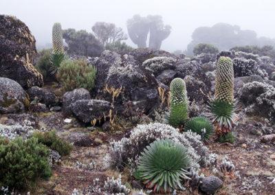 Giant Lobelias & Senecios