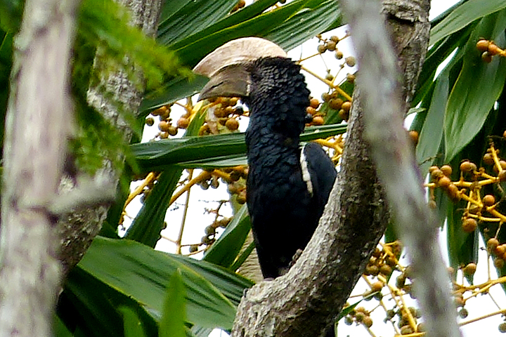 Usambara Mountains - Silvery-cheeked Hornbill