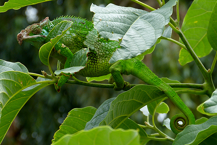 Usambara Mountains - Horned Chameleon
