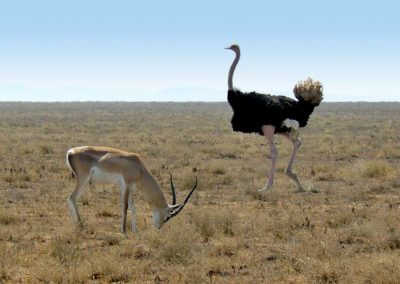 Serengeti plains with ostrich and Grant's gazelle