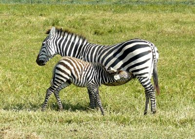 Zebras in Ngorongoro Crater
